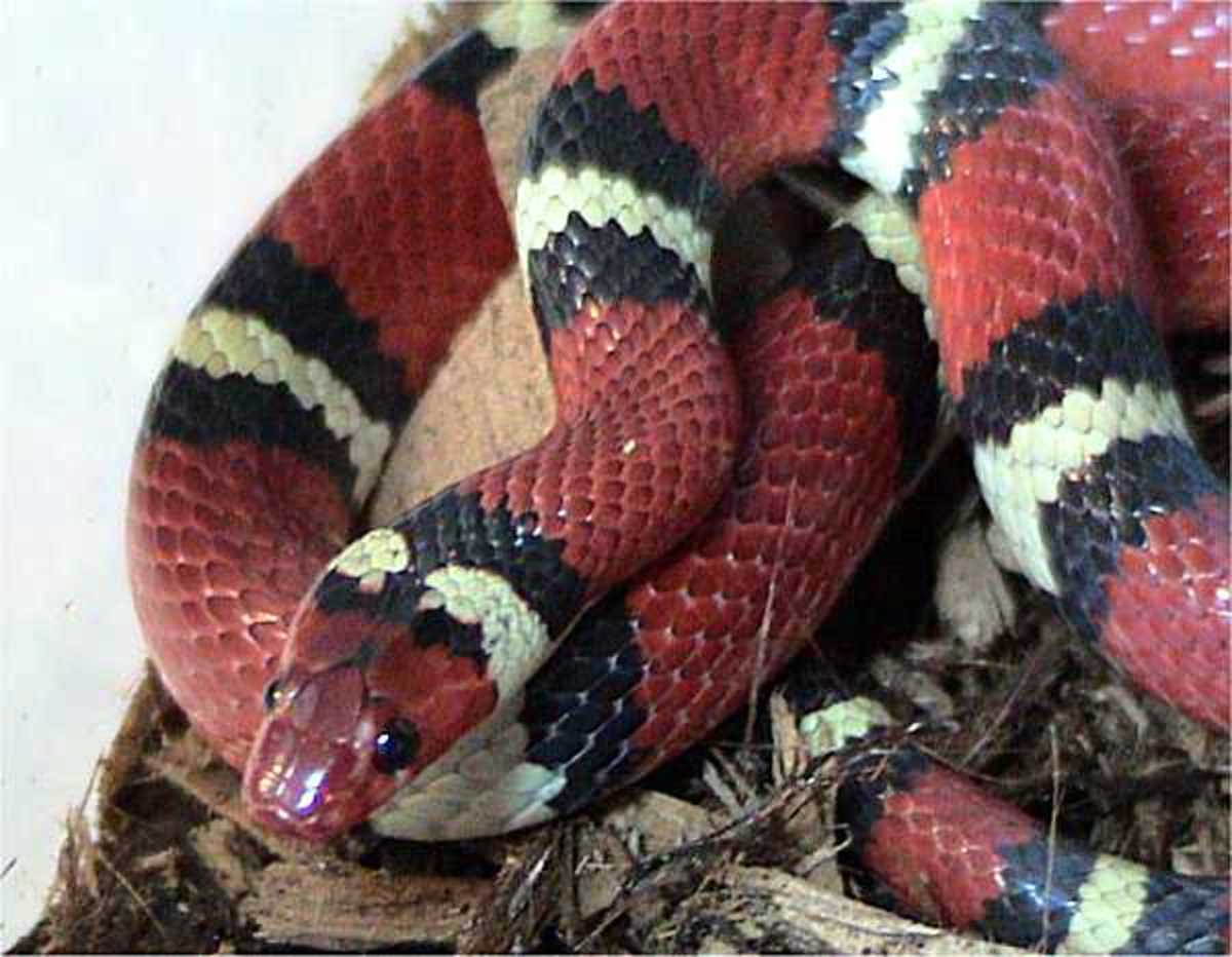 This isn't a Coral Snake. This is actually a Kingsnake. Notice the colors don't follow the same order.