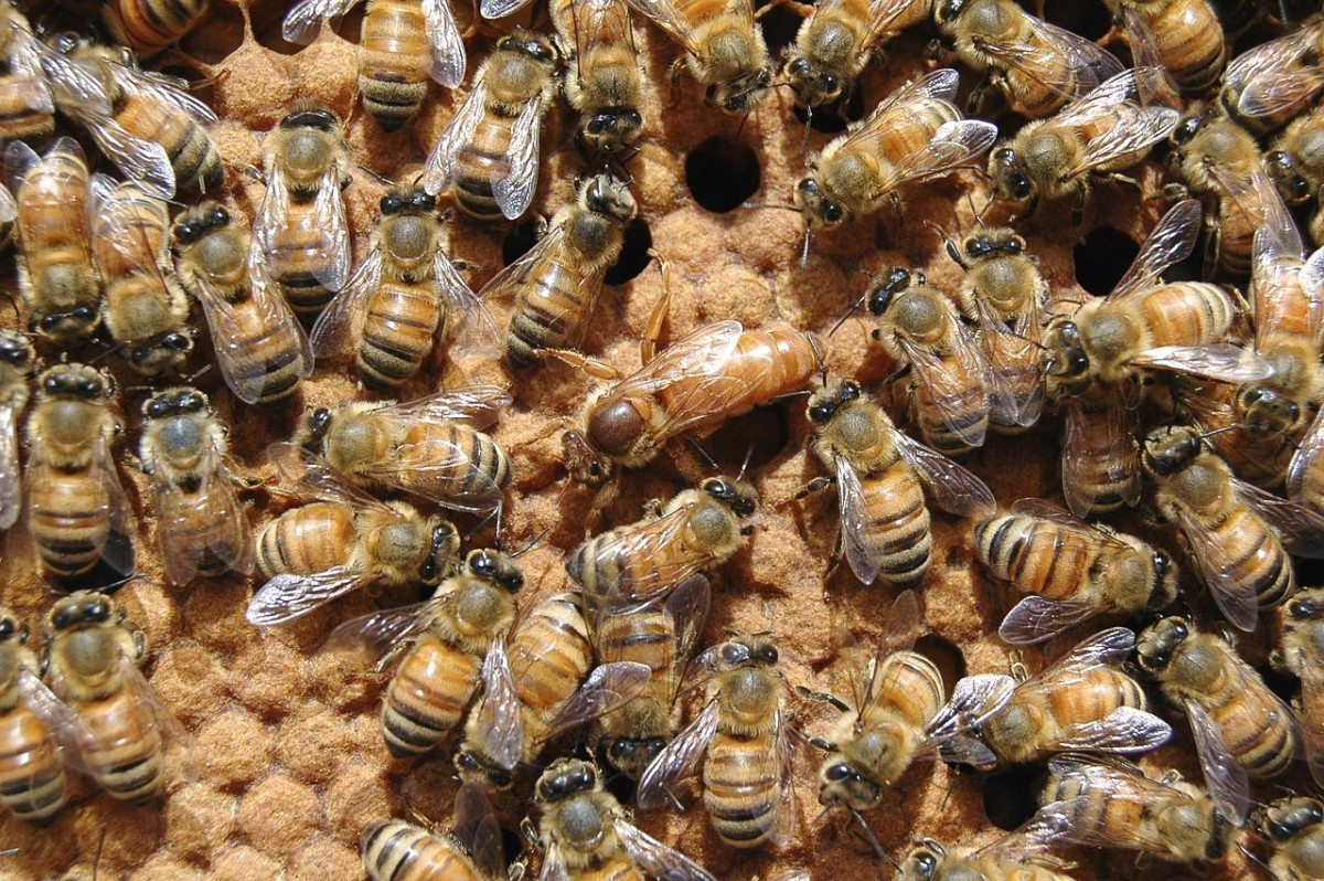 Bees at work in a beehive; the larger queen is in the middle of the photo. Formic acid is used to kill mites in beehives.