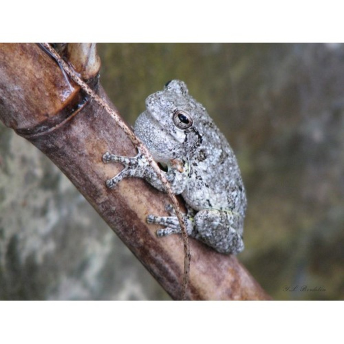 Male Gray Tree Frog calling from a rain barrel.