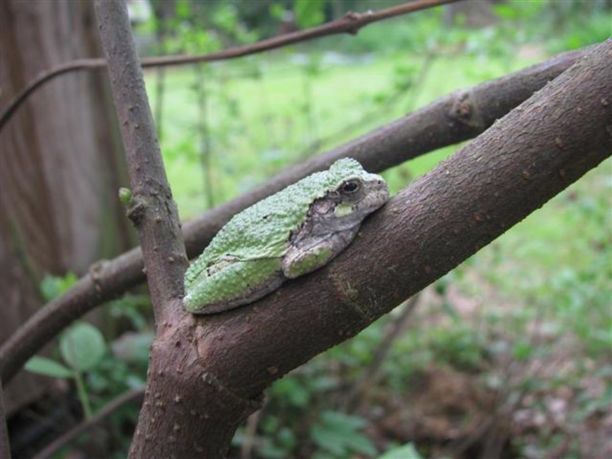 One of the green backed Gray Tree Frogs.