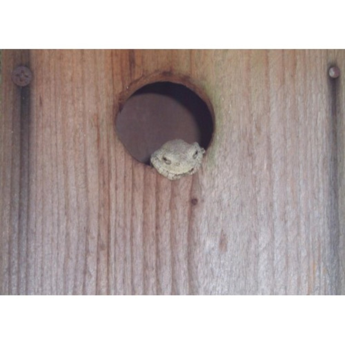 A Gray Tree frog lived in this bird house for 2 years.