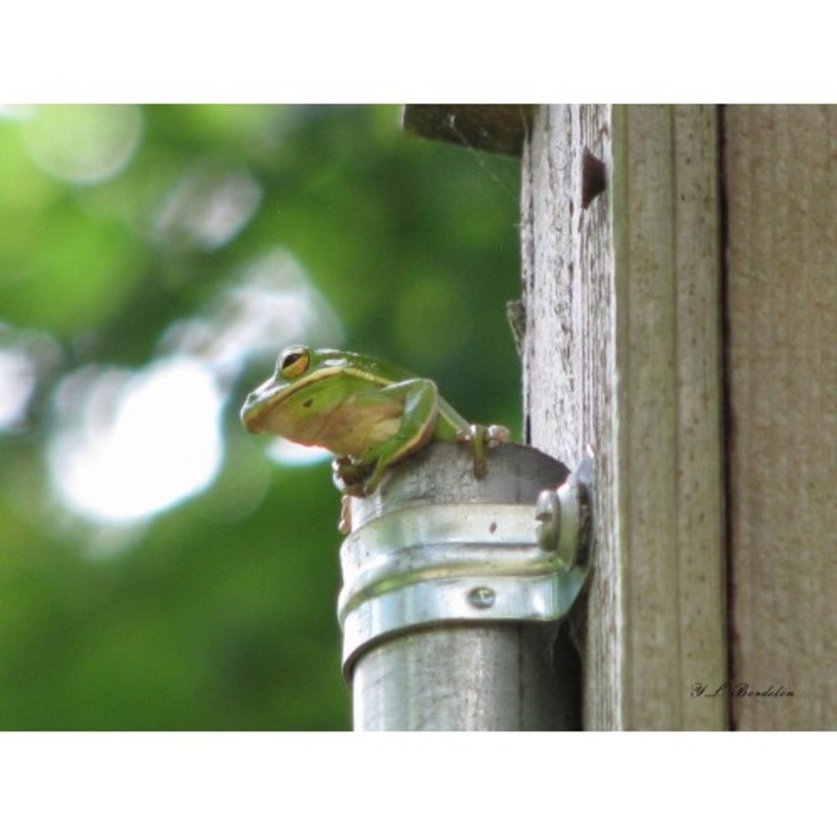 Green Tree Frog using the pipe on a birdhouse for a den.