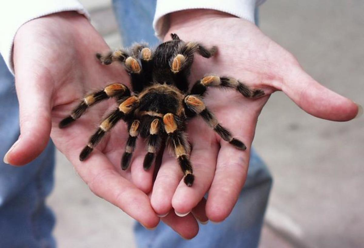Mexican Red Kneed Tarantula (Brachypelma smithi)