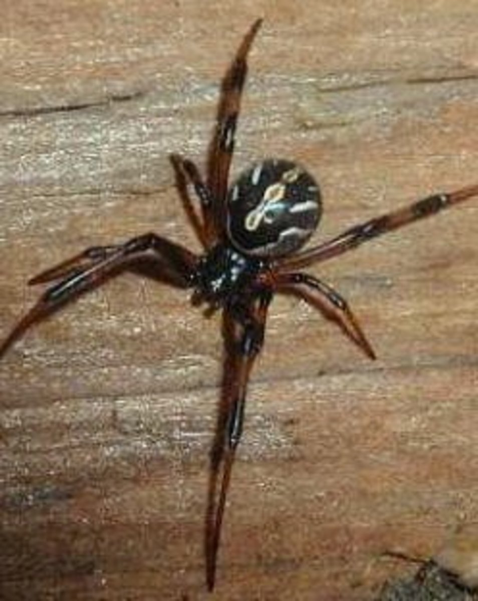 The mostly harmless male black widow.