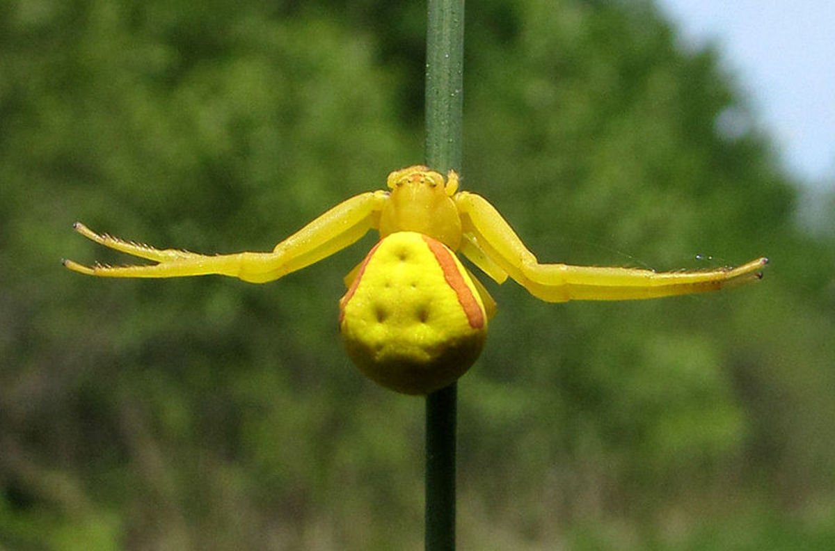 A young goldenrod crab spider mimicking a flower in attempt to lure in prey.