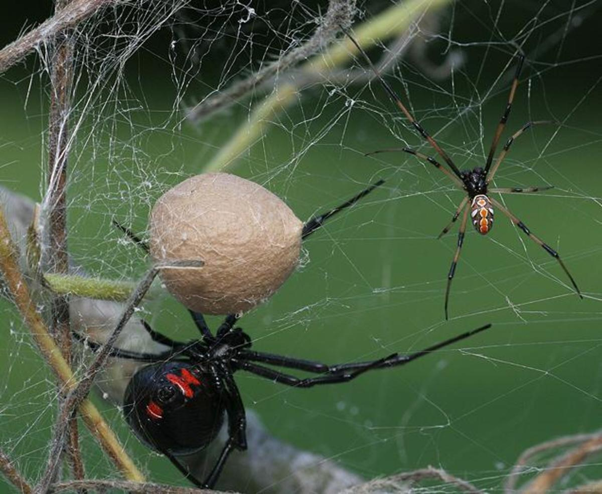 A very lucky male black widow that has managed to survive the mating ritual waits with the female and her egg sac. Hope mommy doesn't get hungry!
