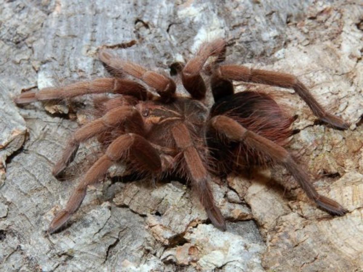 Colombian Brown Tarantula (Pamphobeteus fortis)
