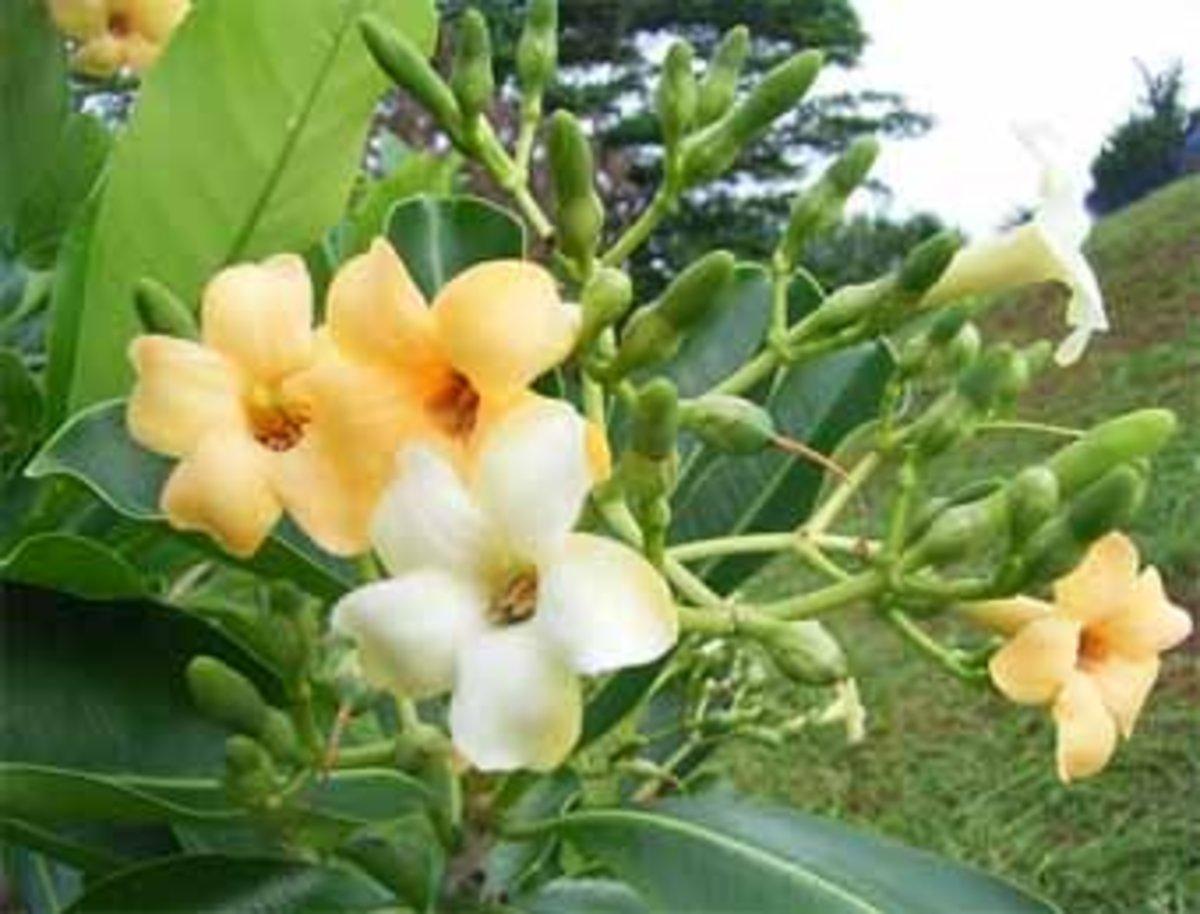 Puakenikeni branch with blooms