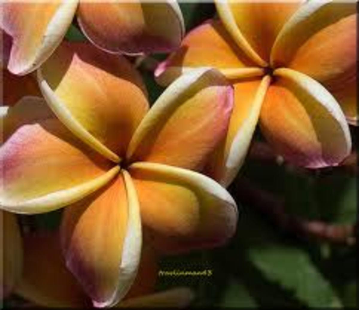"""Plumeria (""""melia"""" in Hawaiian)"""