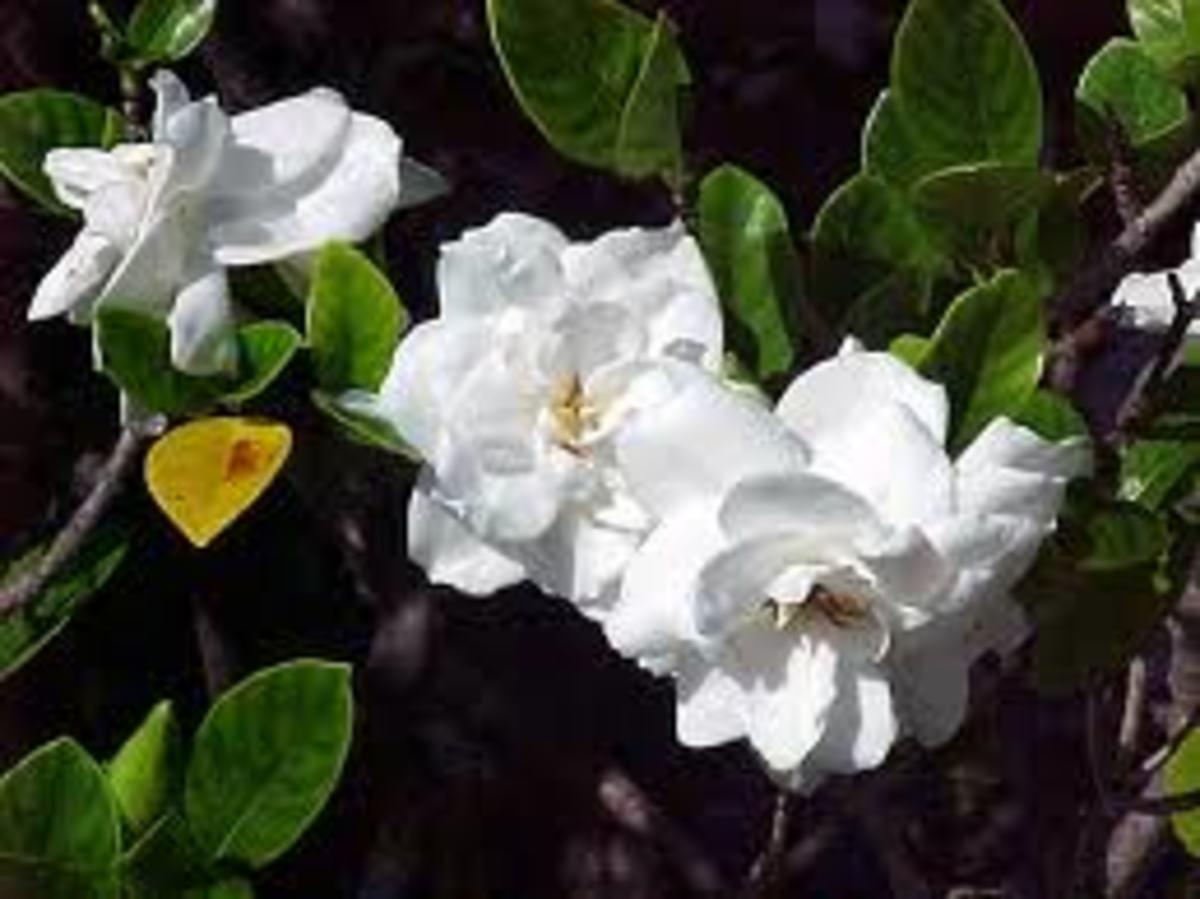 """Gardenia (""""kiele"""" in Hawaiian))"""