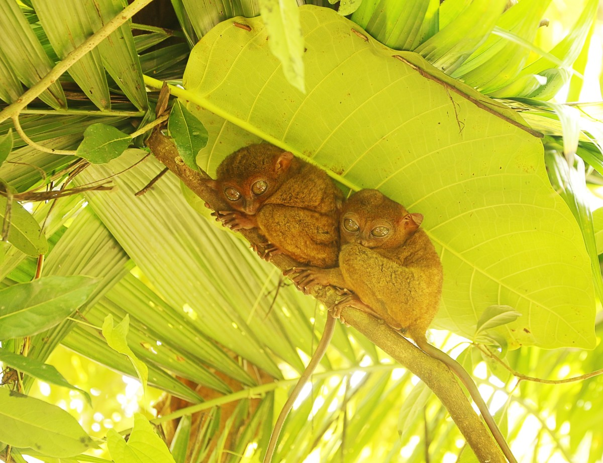 Two animals in Bohol in the Philippines