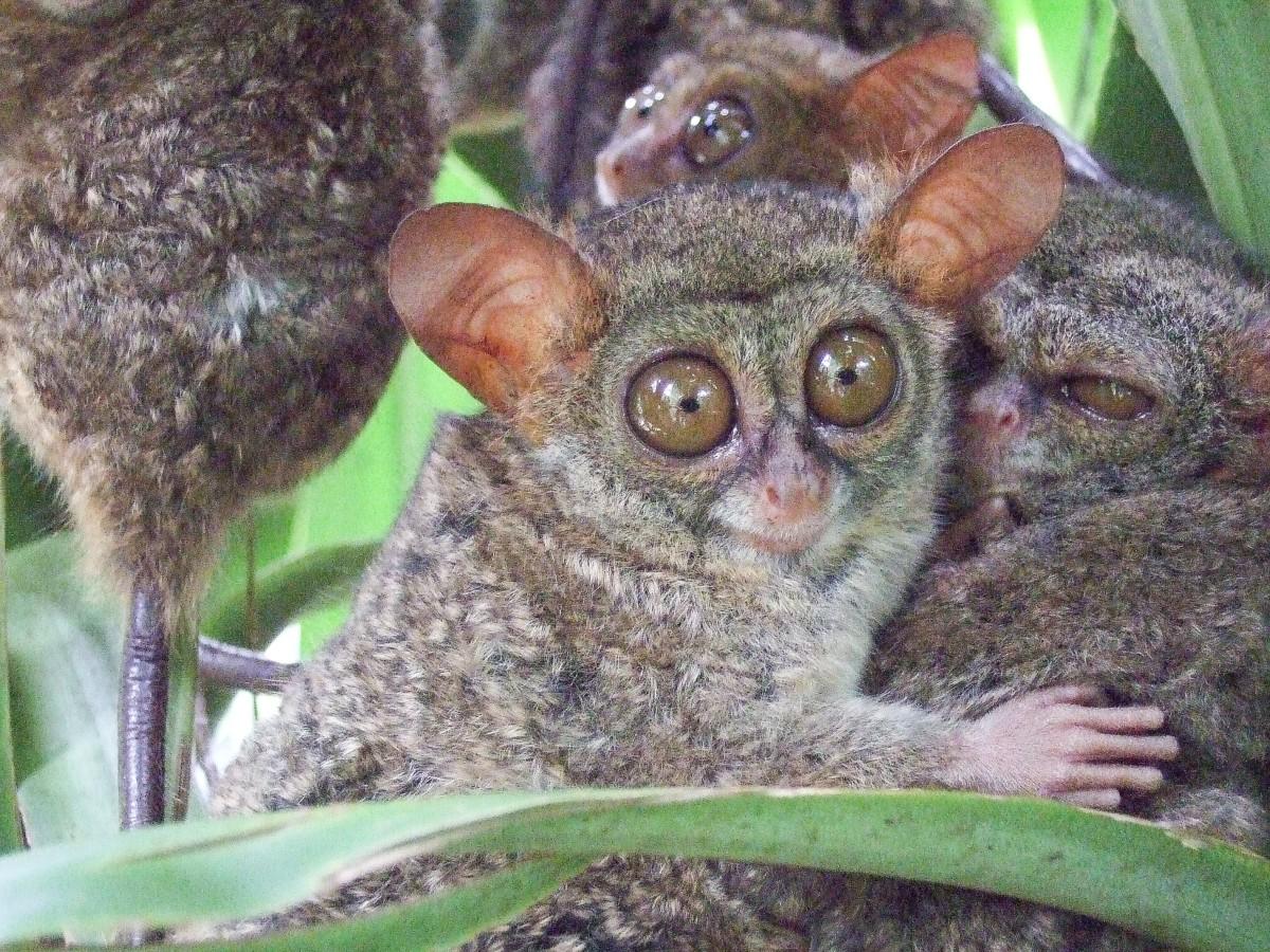 A tarsier family