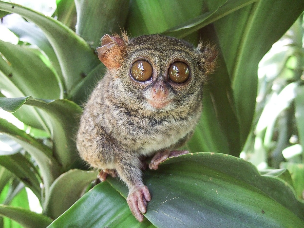 A tarsier in a zoo