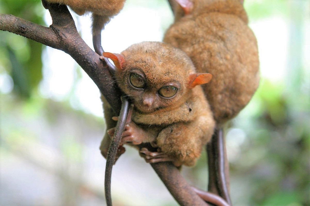 Tarsius syrichta or Carlita syrichta  (the Philippine tarsier)