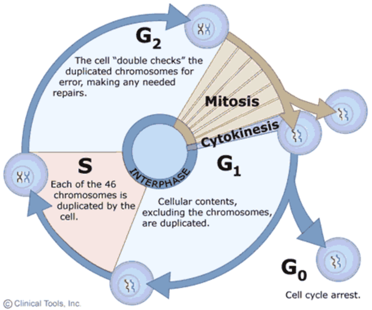 Stages of the Cell Cycle - Mitosis (Interphase and Prophase) | Owlcation