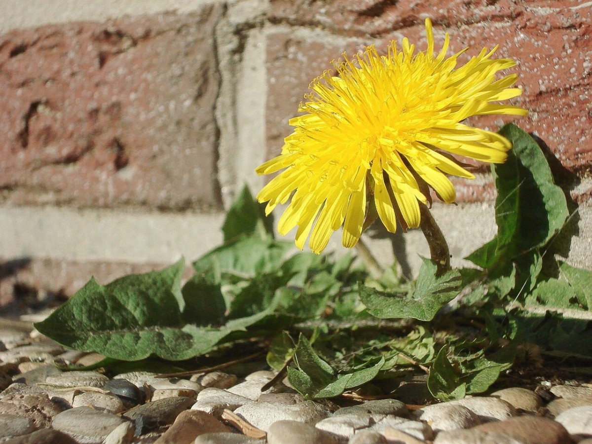 The common dandelion plant, or Taraxacum officinale