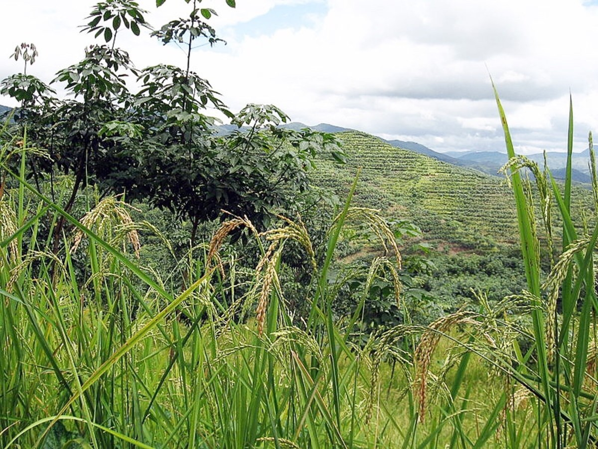 Young rubber trees (on the left) growing beside rice