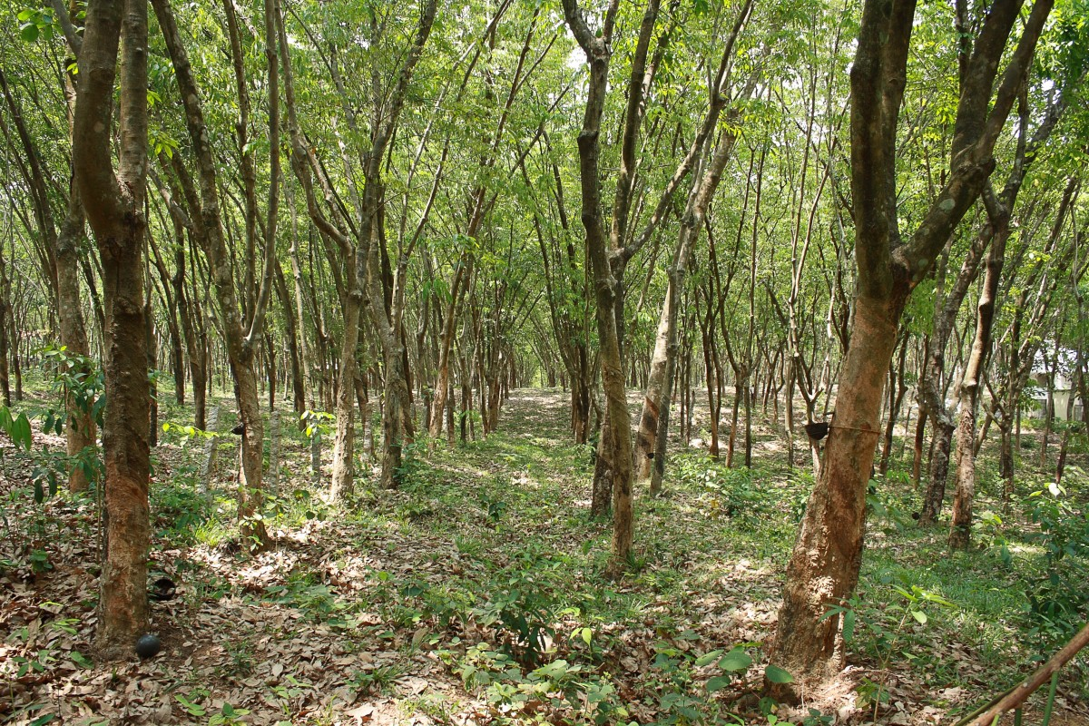 A rubber tree plantation