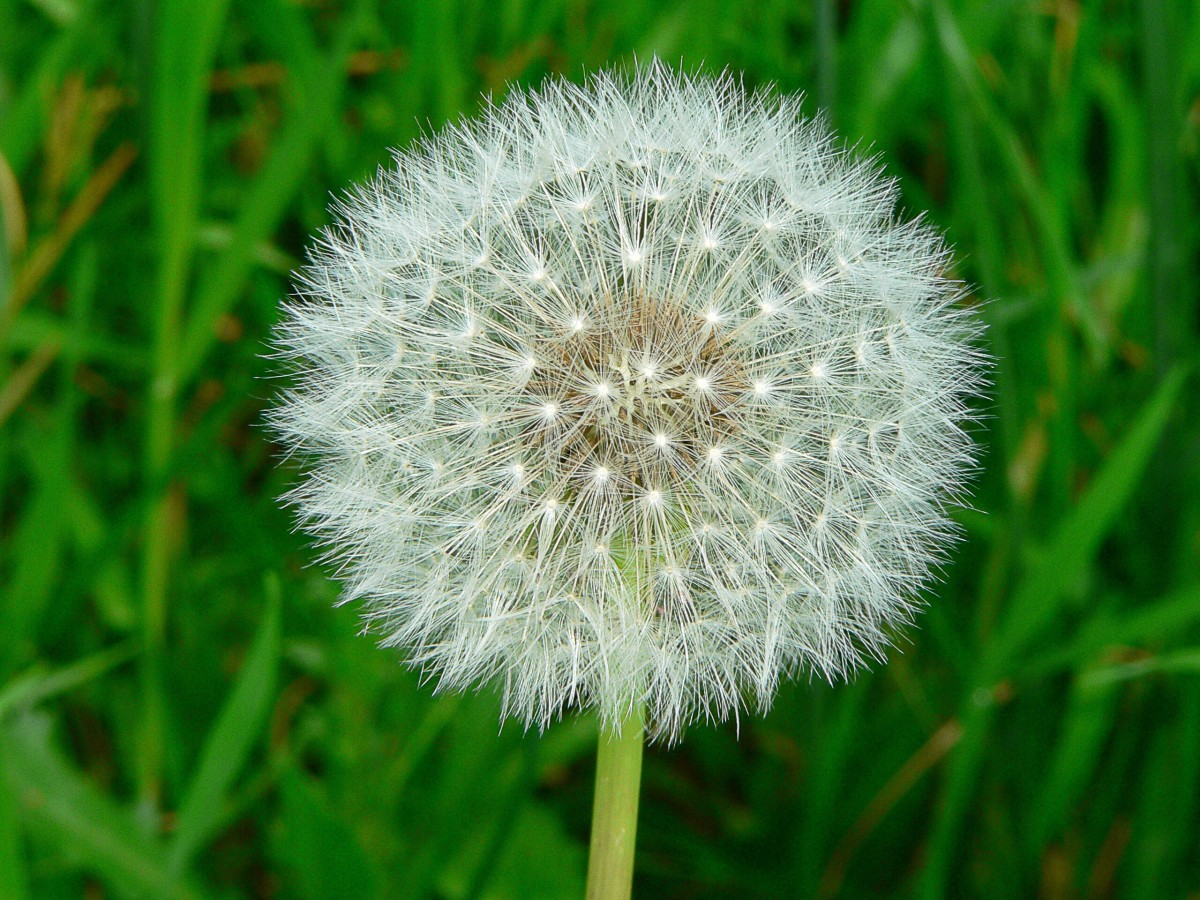A seed head of the common dandelion