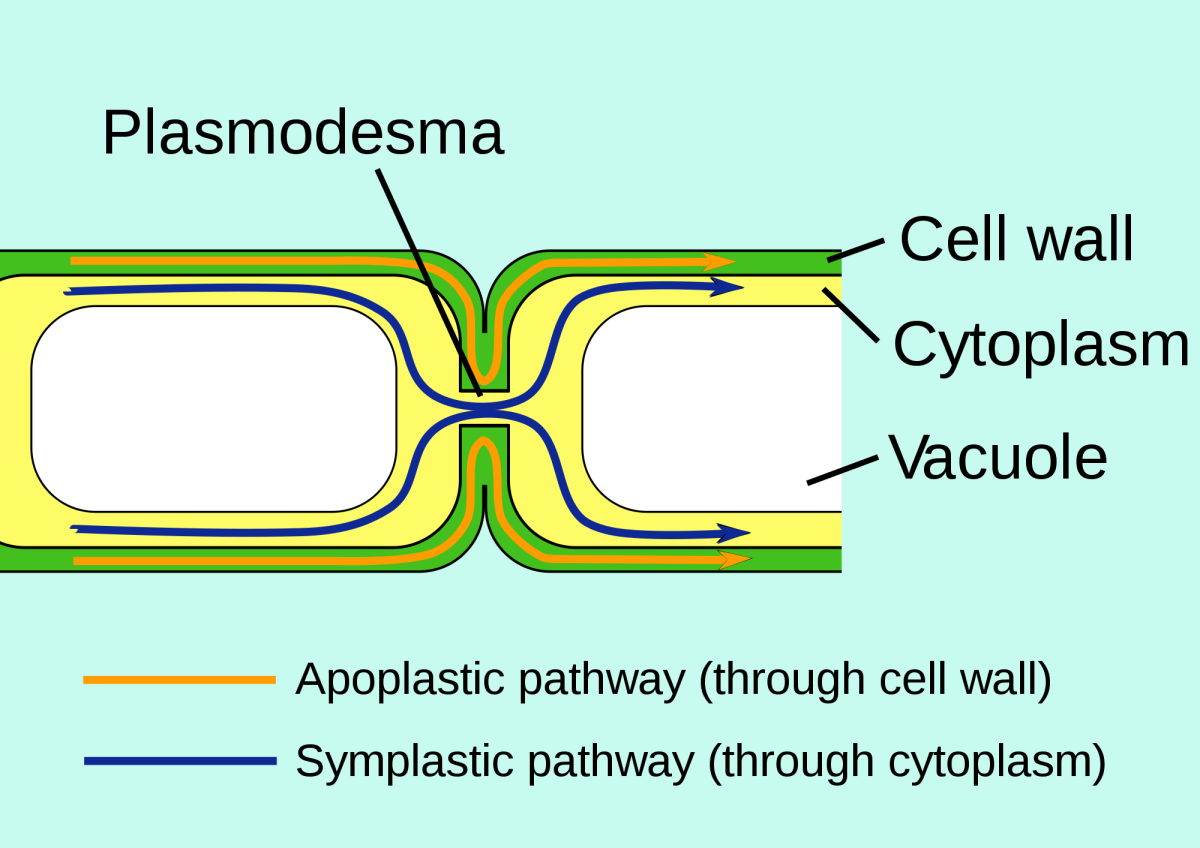 Plasmodesmata are gaps in the cell wall that allow molecules to pass through. This is called the Symplastic Pathway