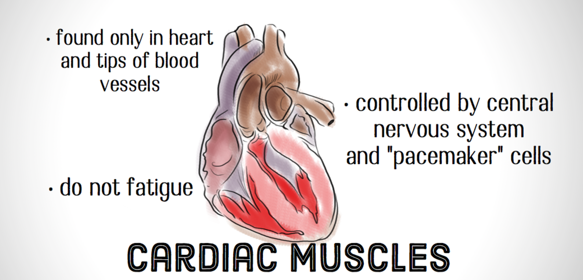 Cardiac muscles appear striped or striated when viewed under a microscope.