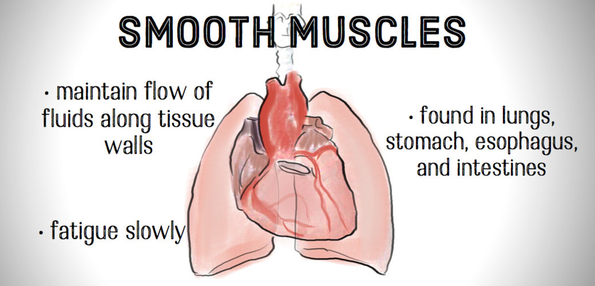 Smooth muscles are found in the walls of hollow structures, including veins and blood vessels.