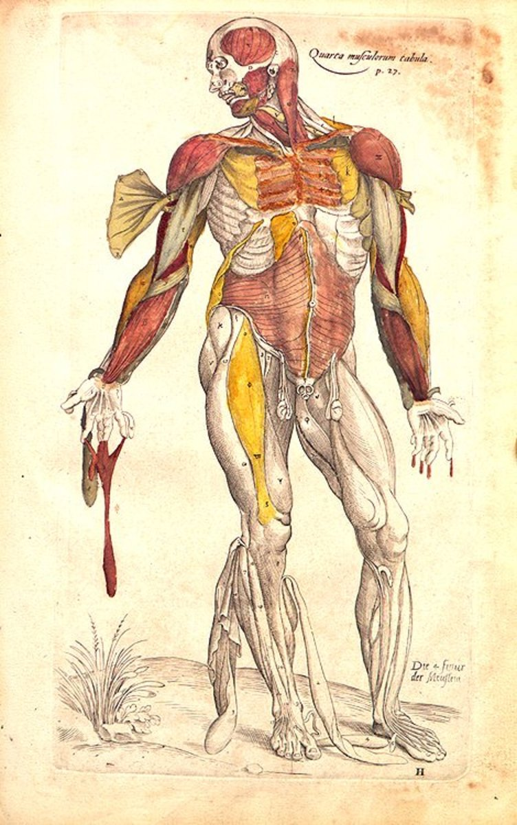 Anatomical Drawings by Andreas Vesalius