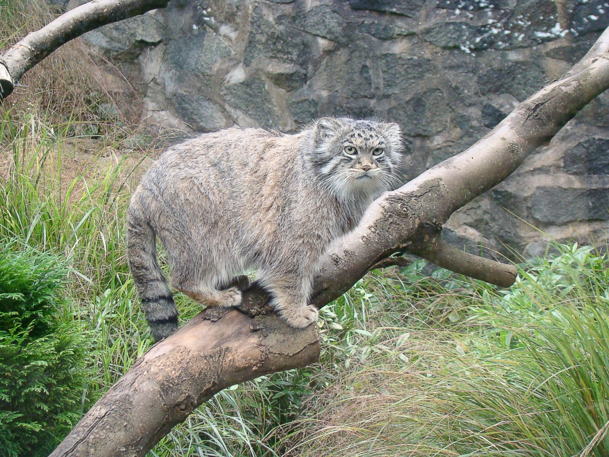 A Pallus cat or manul in a tree at the Edinburgh zoo