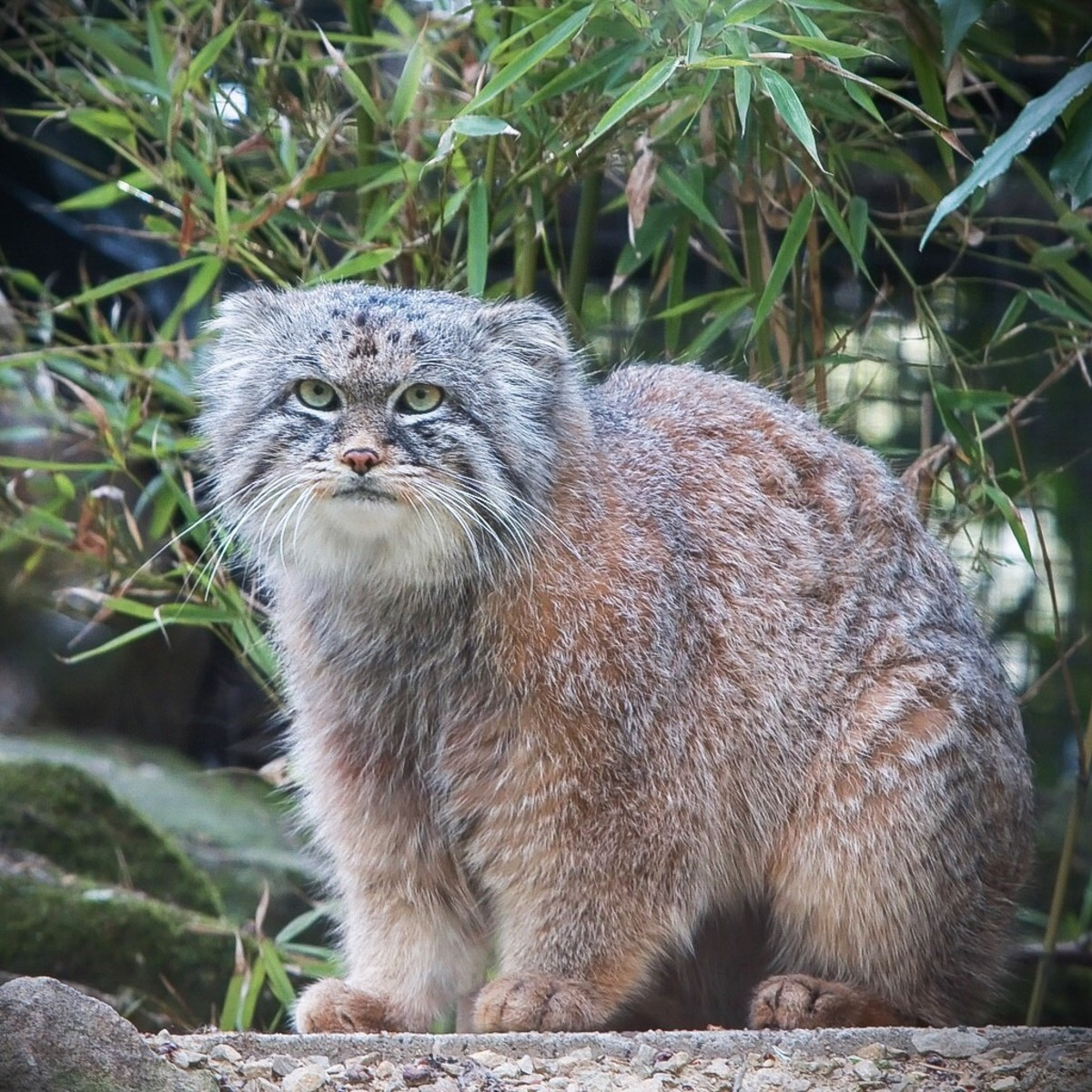 A Pallas cat at a zoo in Rotterdam