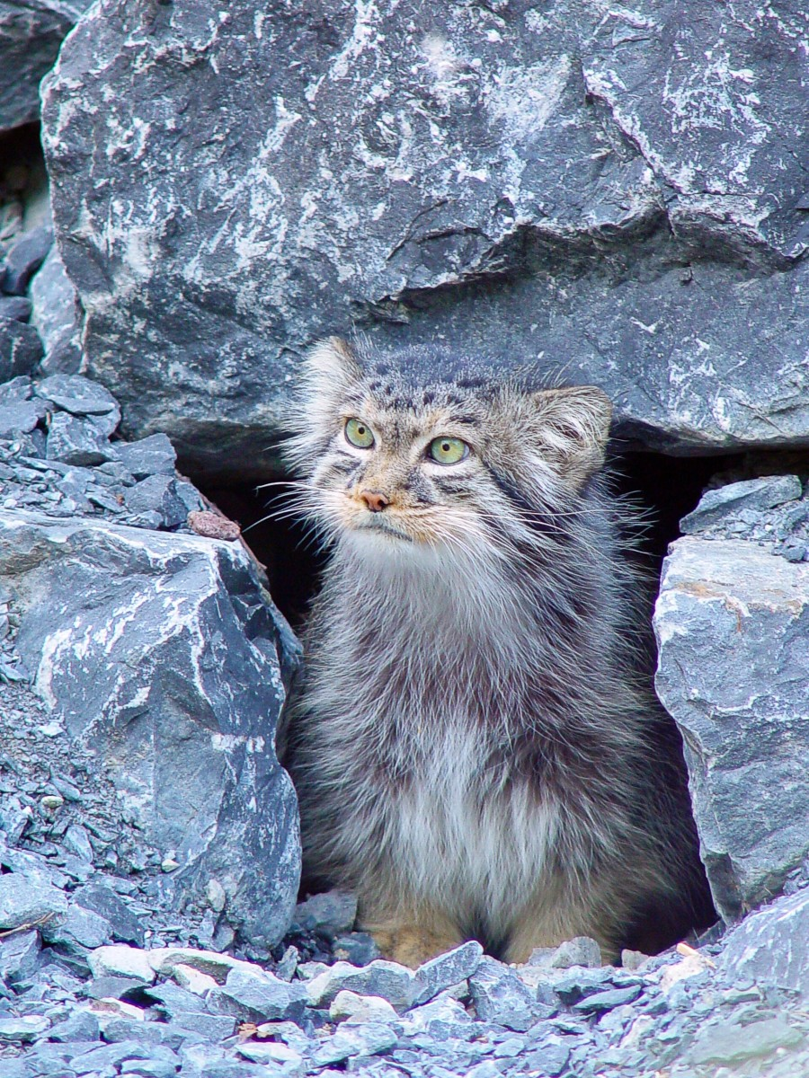 A Pallas cat at the Zurich Zoo