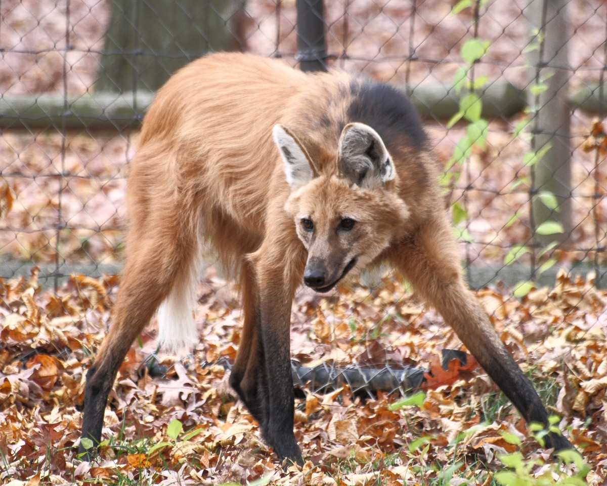 A maned wolf at the Beardsley Zoo