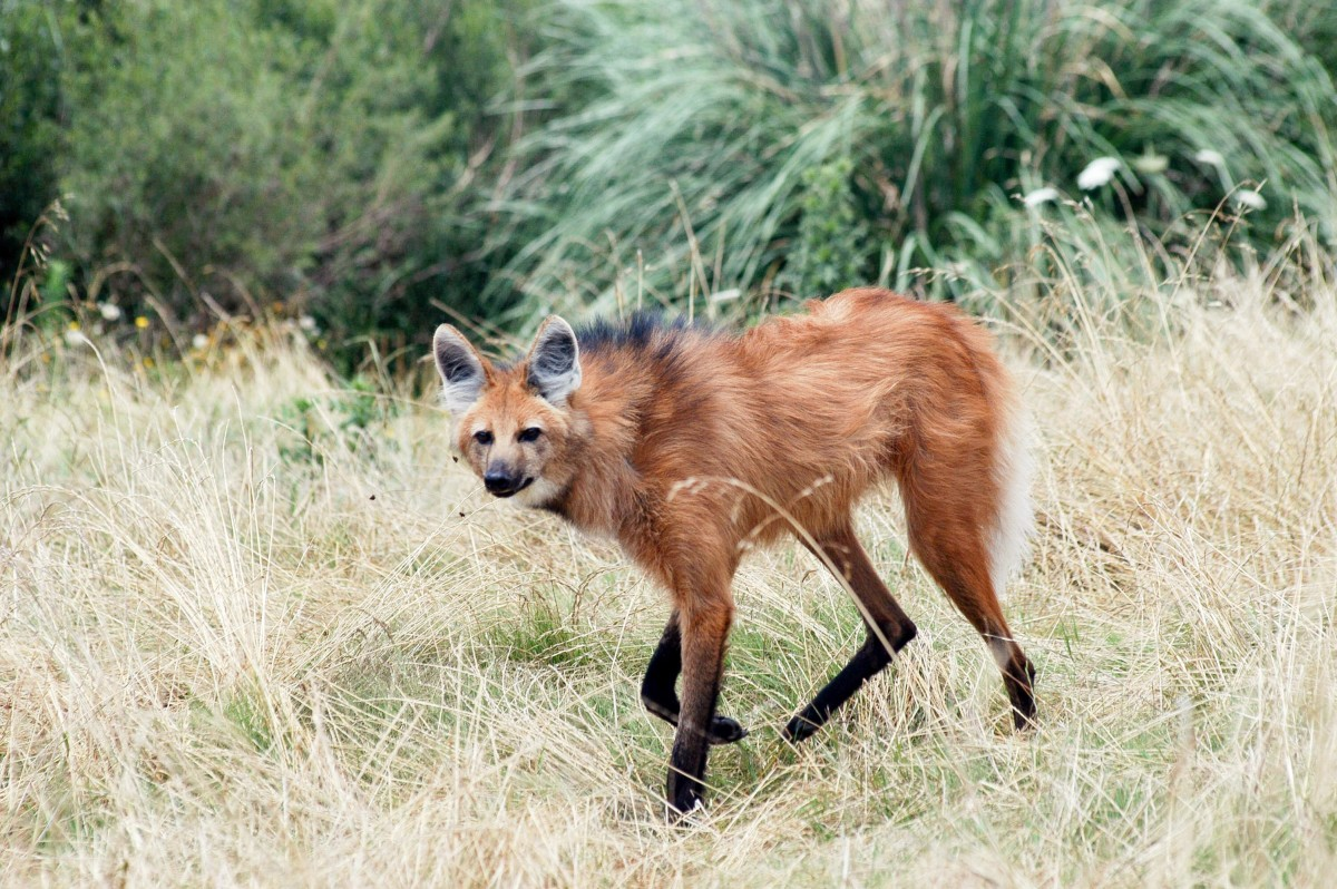 A maned wolf in South America