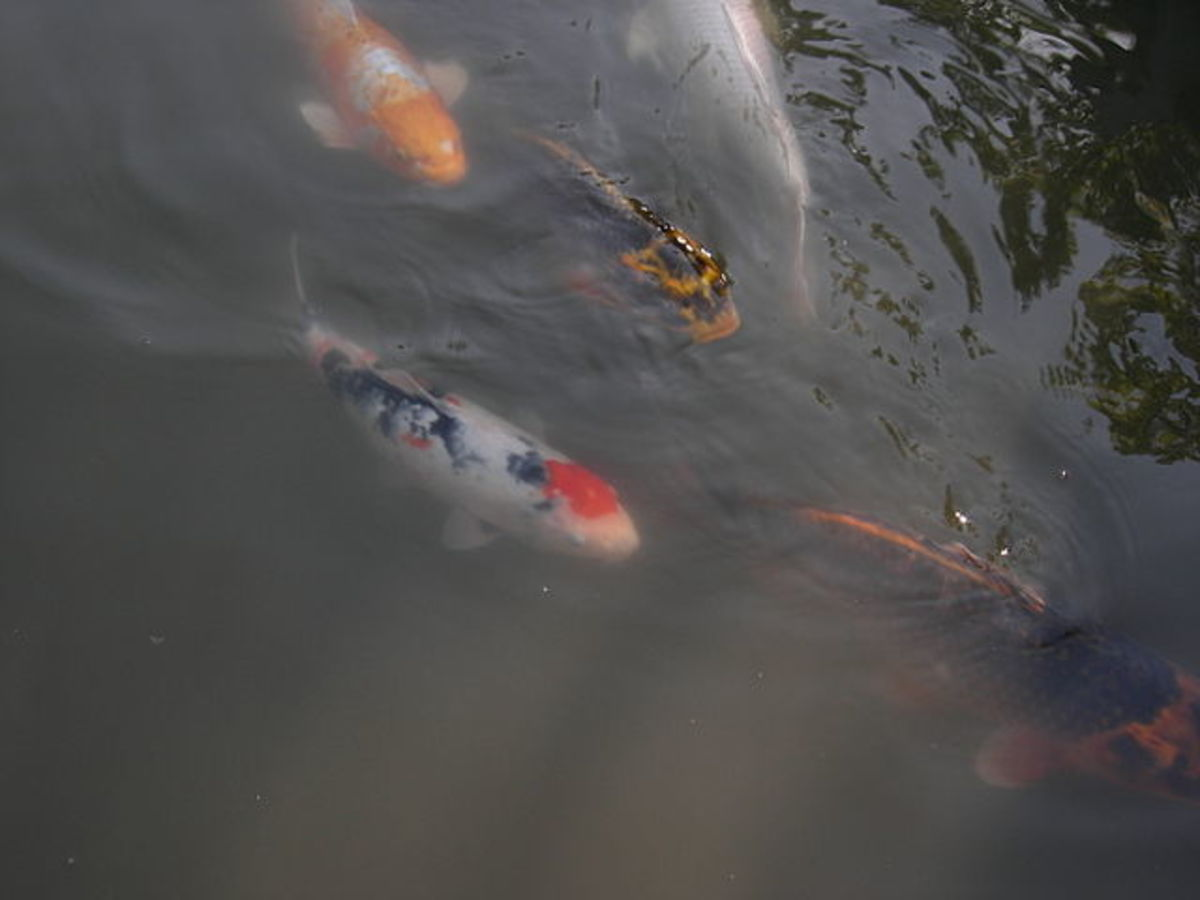 Koi swimming in a pond at Japanese Garden, Washington Park Arboretum, Seattle, Washington, USA. Pictures such as this have become very popular all over the world.