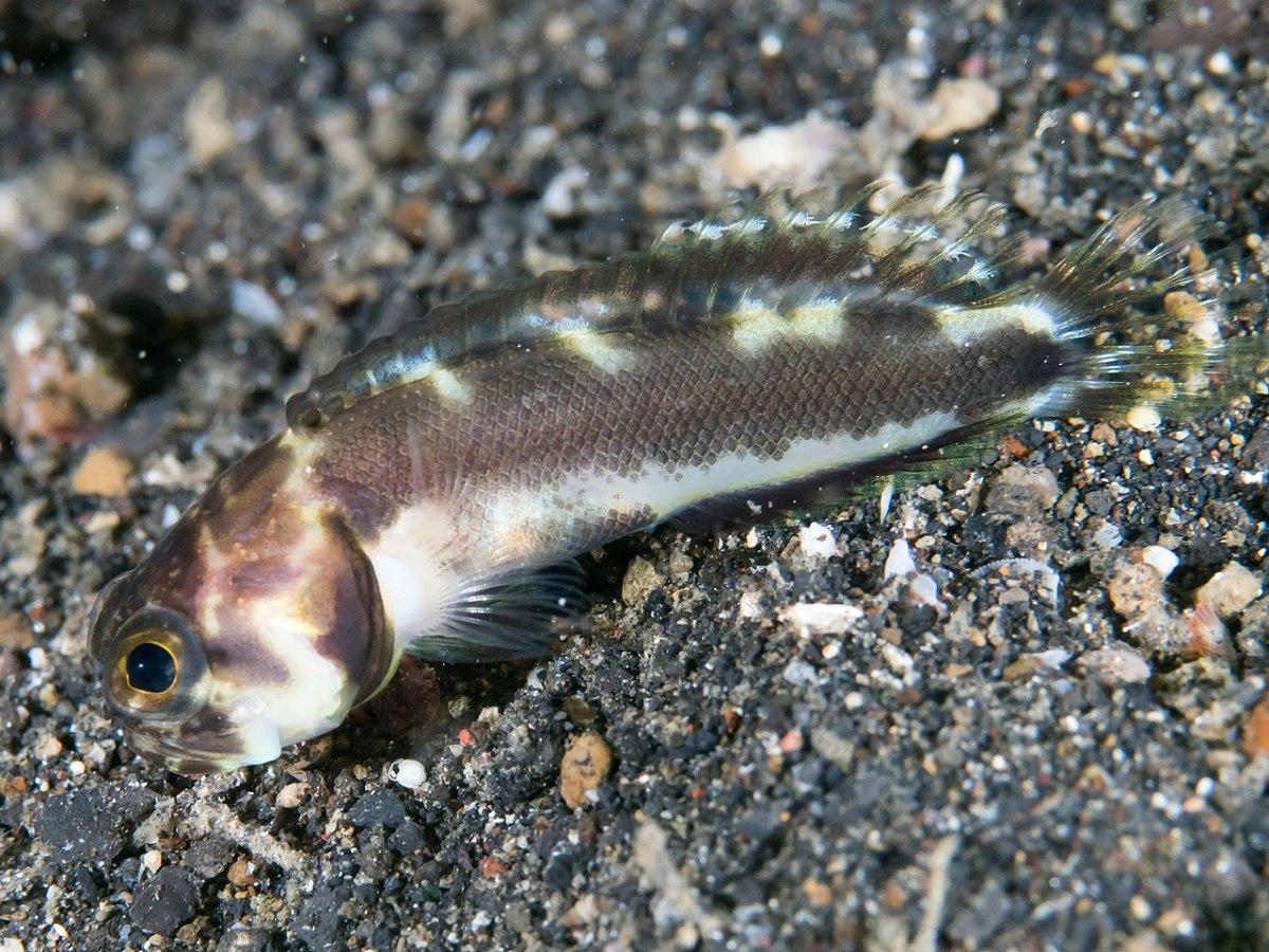 A harlequin jawfish