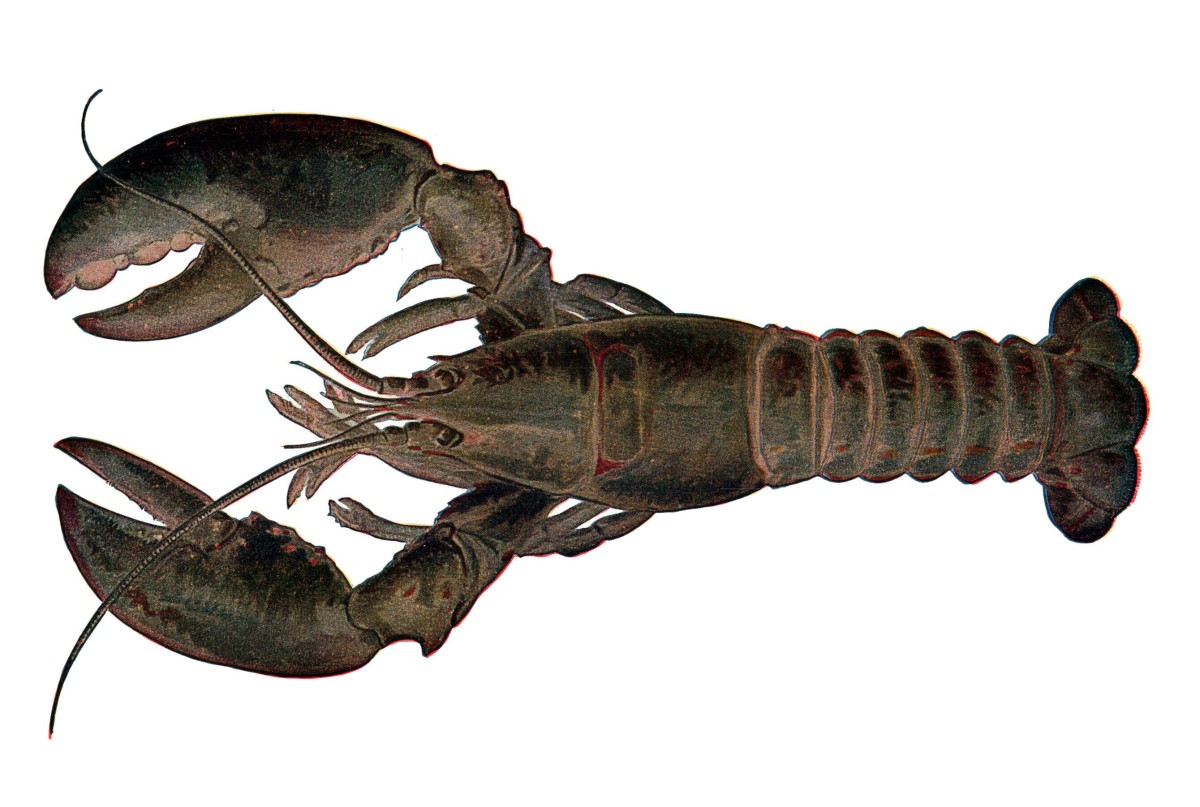 An artist's rendering of a lobster