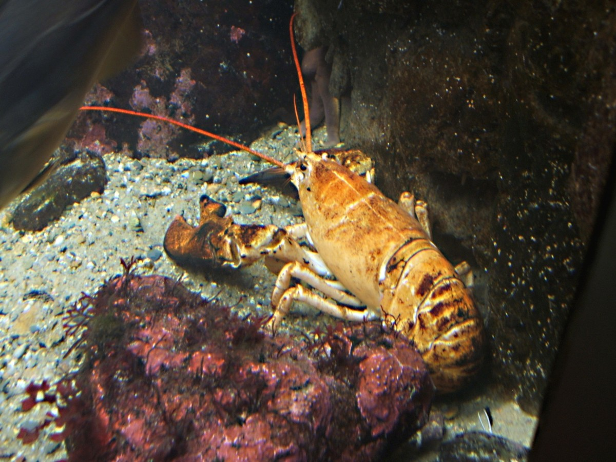 A yellow form of the American lobster