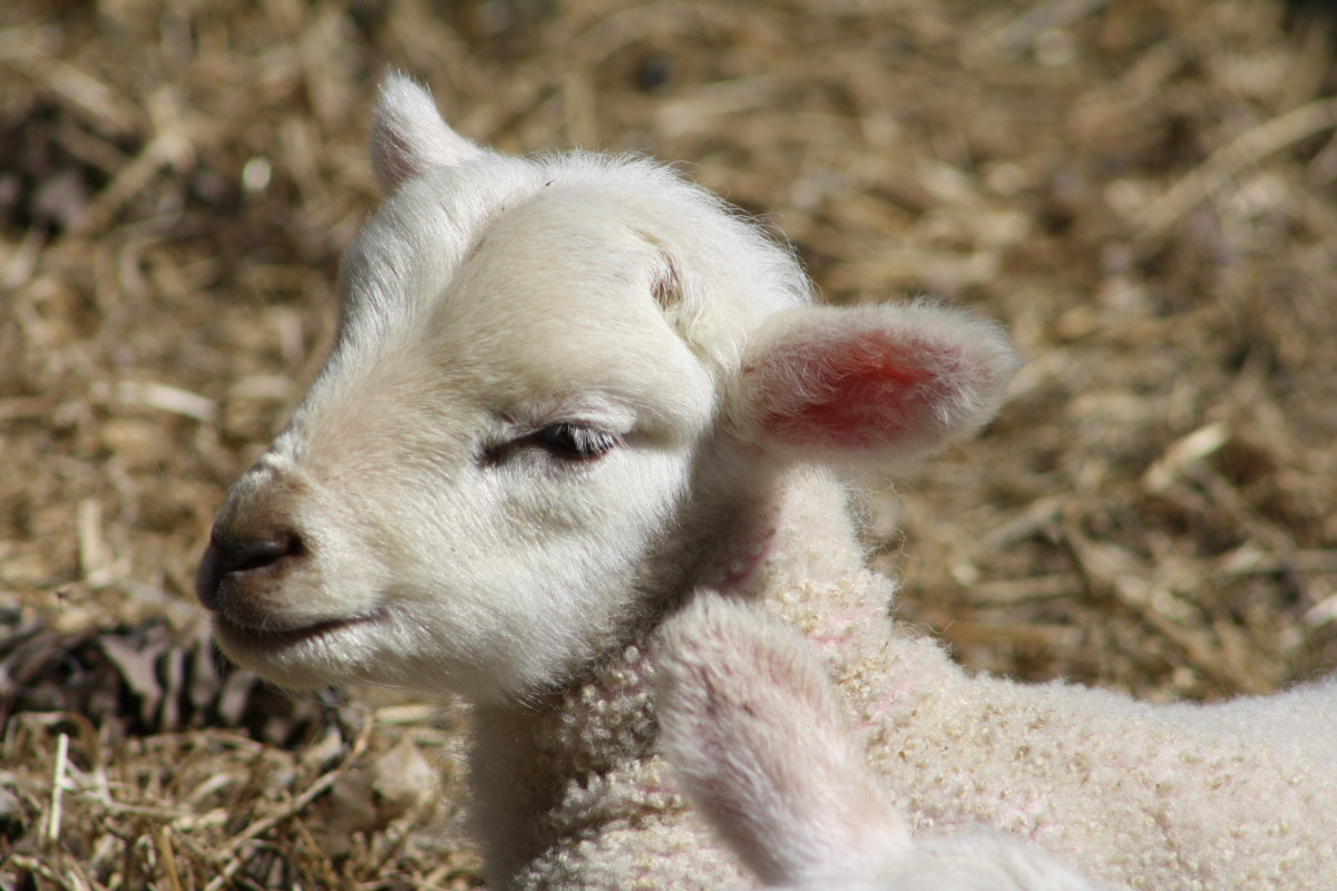 A lamb grazing outdoors on a farm in Sturbridge, MA.