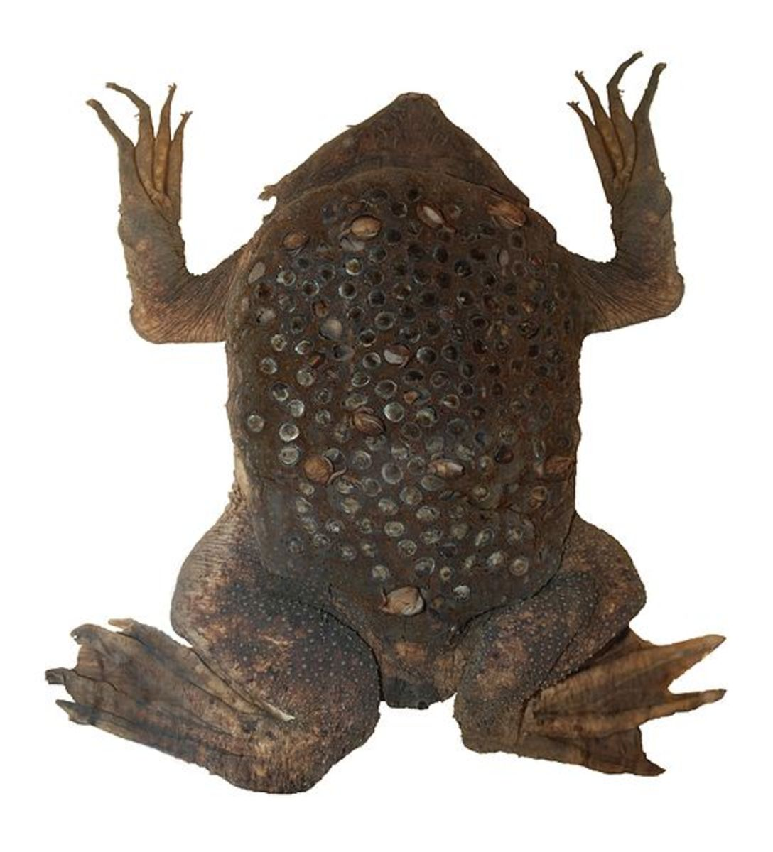 Surinam toad with eggs embedded in the skin