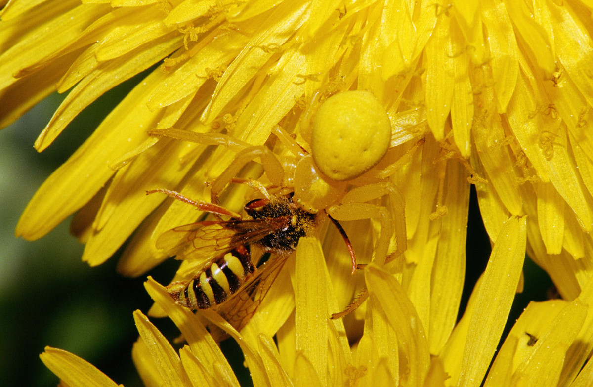 Female Goldenrod Crab Spider