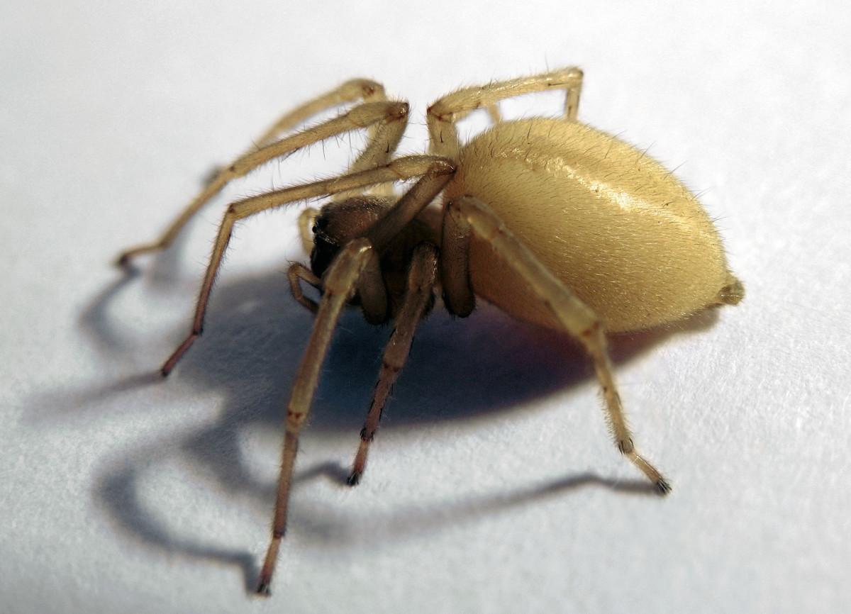 Yellow House Spider