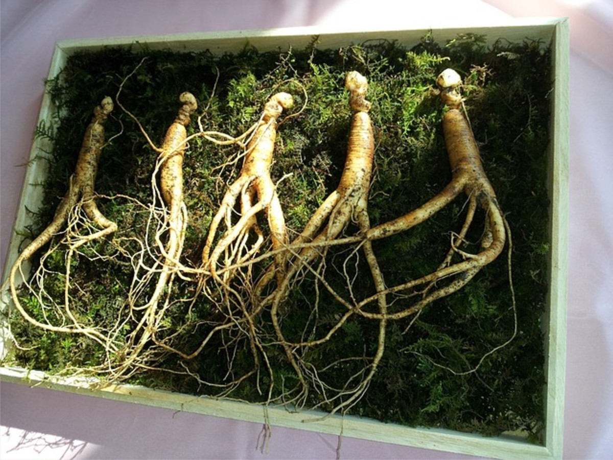 "Ginseng ""man roots"" have a thick ""body"" with leg-like roots extending from it."