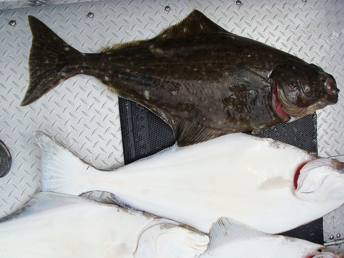 Top surface of a Pacific halibut (dark) and the bottom surface (white)