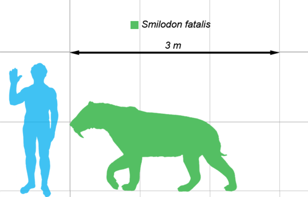 The size of smilodon in relation to a full grown man.