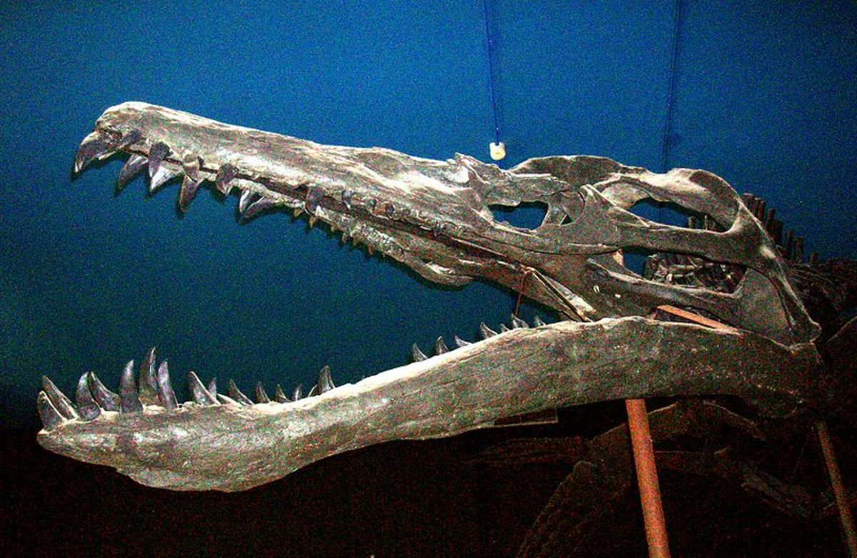 This is the largest predatory skull ever known, more than three times bigger than tyrannosaurus.