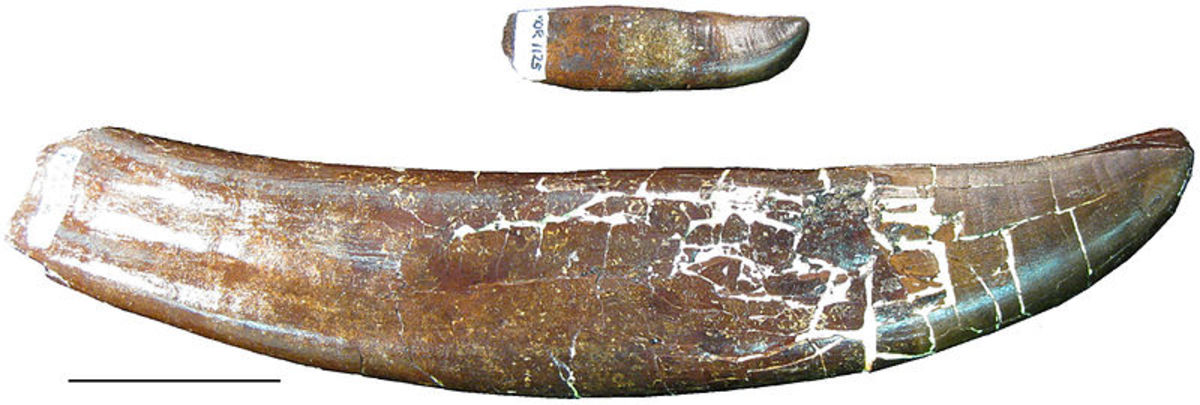 This picture shows a tooth from the lower jaw (above) and a tooth from the upper jaw (below) showcasing the extreme range in overall tooth size in an individual.