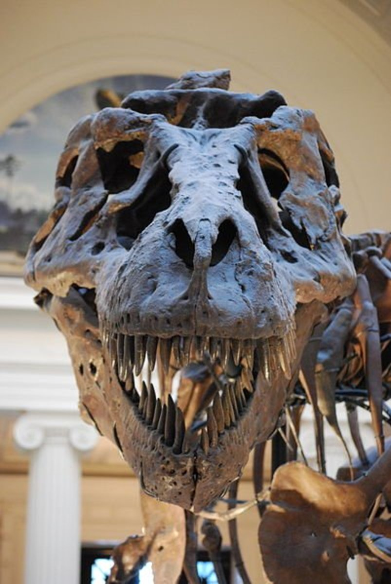 A full frontal view of the famous 'Sue'- the most complete T-Rex skeleton found to date.