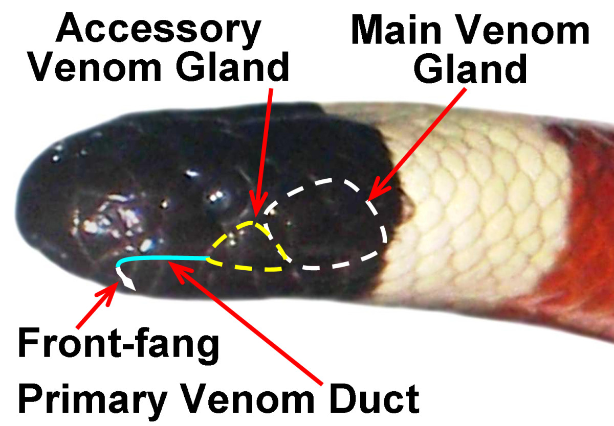 An Arizona Coral Snake (Micruroides euryxanthus), diagramming the approximate size/location of the main and accessory venom glands, along with a front-fang and the primary venom duct.