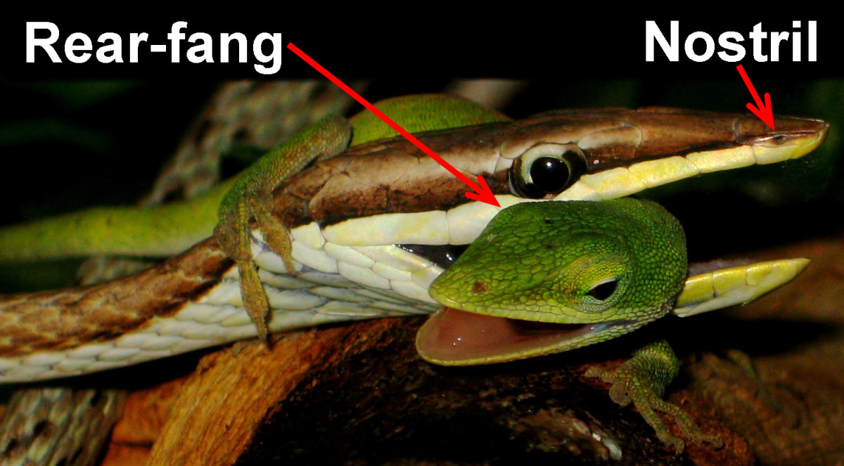 A Brown Vine Snake (Oxybelis aeneus) holding onto its Green Anole (Anolis carolinensis) prey such that its rear-fangs are able to pierce the flesh and effectively inject venom.