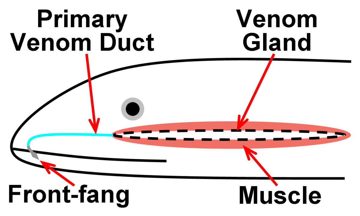 Diagrammatic representation of the venom system present in members of family Atractaspididae, showing the venom gland and the muscle associated with it, as well as a front-fang (its position is further back in some species) and the venom duct.
