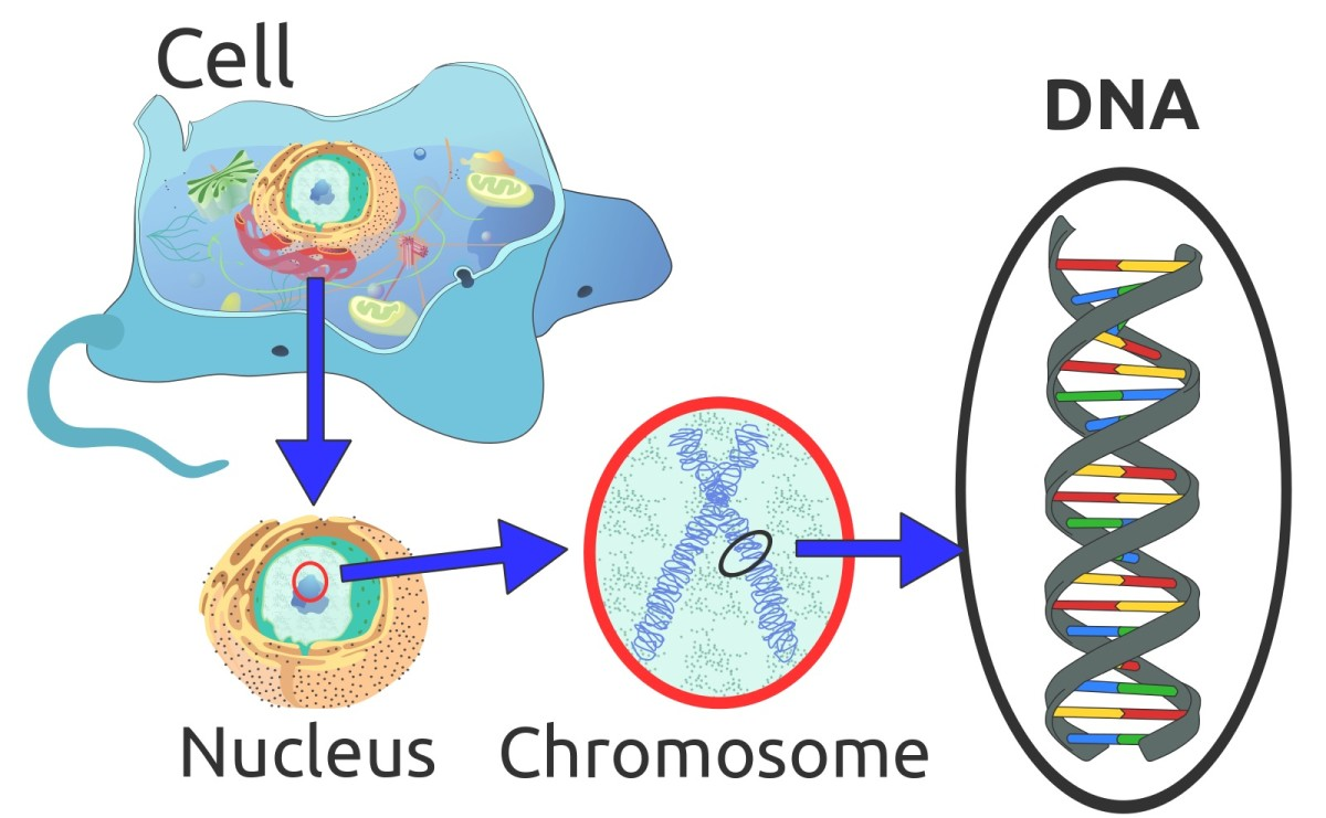 The majority of a cell's DNA is located in the nucleus. DNA is combined with a small amount of protein to make chromosomes.